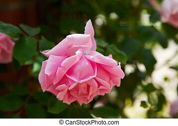 Beautiful pink rose sunny in garden