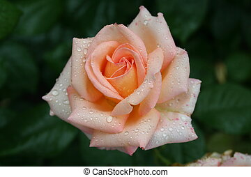 Beautiful pink rose with rain drops