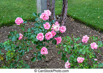 Beautiful pink roses blooming in the garden