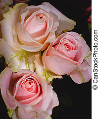 Beautiful pink roses close-up picture in the bouquet