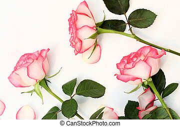 Beautiful, pink roses