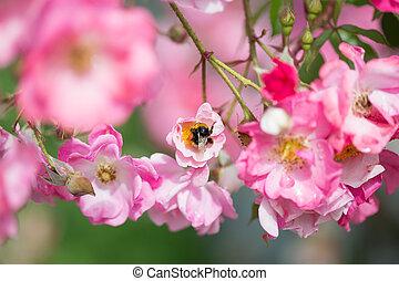 Beautiful pink roses close-up