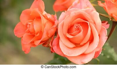 Beautiful pink roses growing in the garden