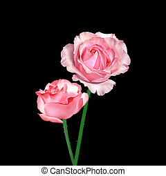 Beautiful pink roses isolated on a black background