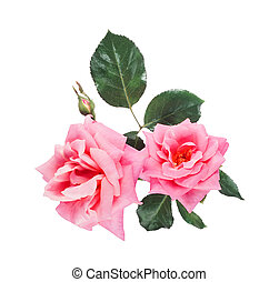 beautiful pink roses isolated on white background