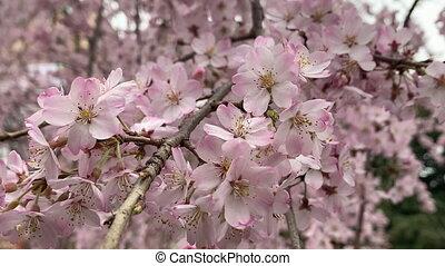 Beautiful pink sakura cherry blossom flower in springtime,...