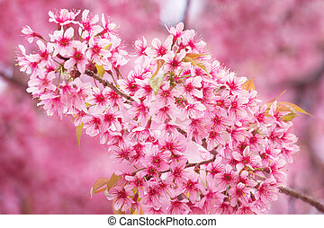 Beautiful pink Sakura flower blooming