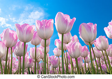 beautiful pink tulips against blue sky