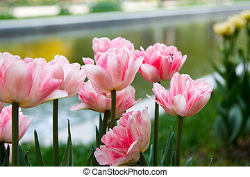 beautiful pink tulips on blurred background