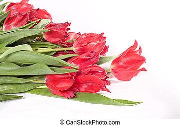 Beautiful pink tulips on white