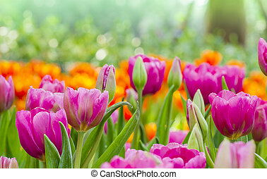 beautiful pink tulips with nature background