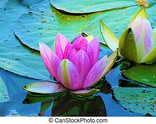 Beautiful pink water lilies on a pond