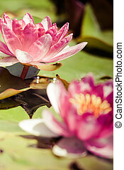 Beautiful pink water lily and green leaves.