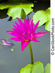 Beautiful pink water lily in pond