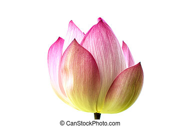 Beautiful Pink Water Lily or Lotus Flower Isolated On White Background