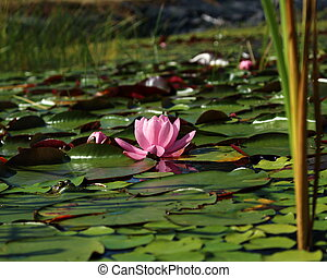 Beautiful pink waterlily on a lake covered with leaves