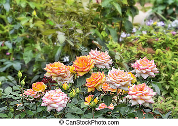 Beautiful pink-yellow rose flowers on blurred background of summer garden
