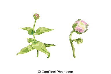 Beautiful pink zinnia and peony flowers isolated on white background. Unblown buds on a stem with green leaves. Botanical vector Illustration.