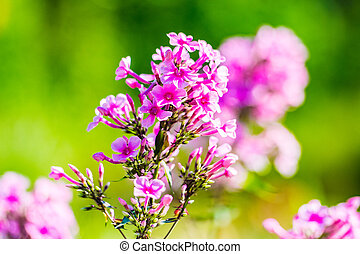 Beautiful Pinks Flocks Flowers in the garden with blurred green background