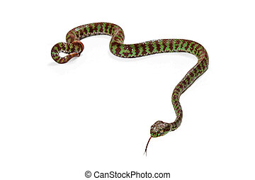 Beautiful Pit Viper Isolated on White - Beautiful Pit Viper,...