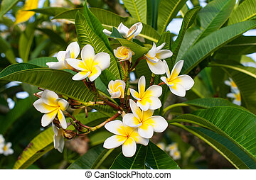 beautiful plumeria flowers on the tree in park