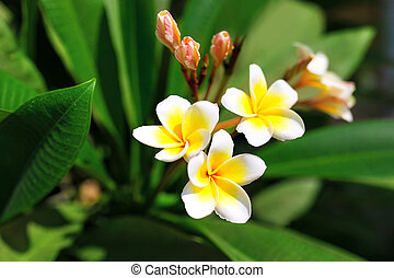Beautiful Plumeria (frangipani) flowers on tree. Selective focus (shallow depth of field)