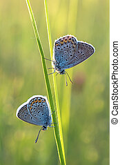 Beautiful Polyommatus icarus on the summer meadow. The side view of a blue butterfly. Insect with pattern wings.