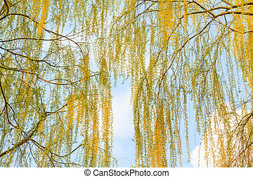 beautiful poplar branches in the spring sky