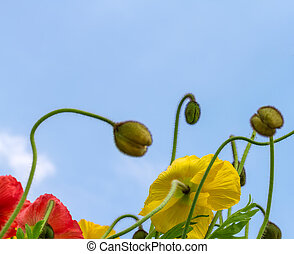Beautiful poppies on the blue sky background