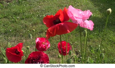 beautiful poppy blossoms in summer