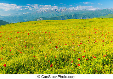 Beautiful poppy field blooming at the foot of high glaciers in the mountains of Armenia, summer landscape