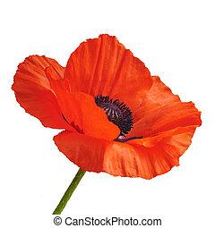 Beautiful poppy flower - Single red poppy flower isolated on...