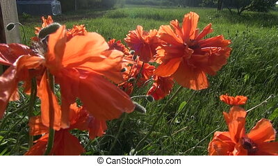beautiful poppy flowers in wind