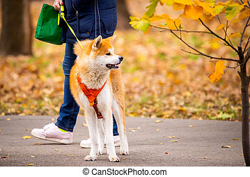 Beautiful portrait of a dog, the Akita Inu or Japan Husky