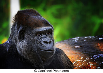 Portrait of a Gorilla on the green background