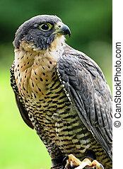 Peregrine Falcon - Beautiful portrait of a Peregrine Falcon.