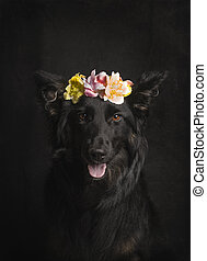 Beautiful portrait of black Border Collier with flower headband on a black background in the studio