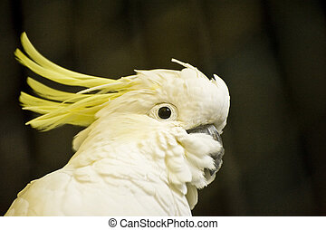 Beautiful portrait of citron crested cockatoo in captivity allowing for excellent close up detail