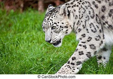 Beautiful portrait of Snow Leopard Panthera Uncia big cat