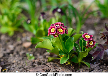 Beautiful primula auricula seedling - Spring flower bed -...
