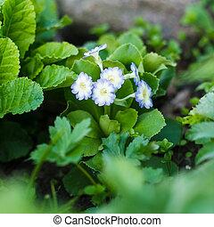 Beautiful primula auricula - Spring flower bed - primula...