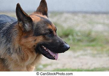 Beautiful Profile of a German Shepherd Dog