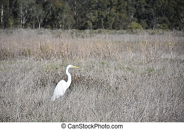 Beautiful Profile of a Great White Egret in a Field