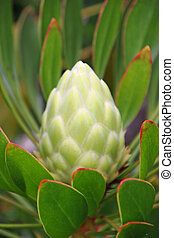 Protea Flower - Beautiful Protea Flower Blooming in Vivid...