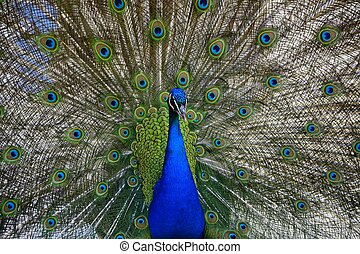 Beautiful proud peacock - Beautiful, majestic, proud peacock...