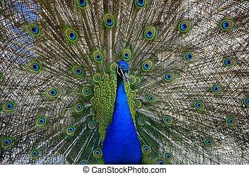 Beautiful proud peacock - Beautiful, majestic, proud peacock...