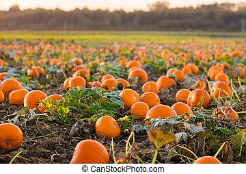 Pumpkin patch - Beautiful pumpkin field in Germany, Europe. ...