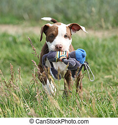 Beautiful puppy of American Pit Bull Terrier in nature