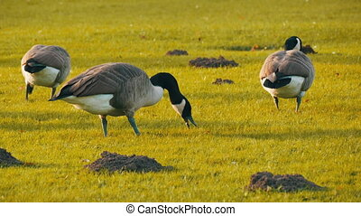 Beautiful purebred black and white canadian geese graze on ...