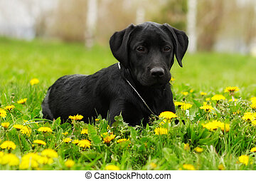 Beautiful purebred black Labrador puppy lying in the summer outdoors